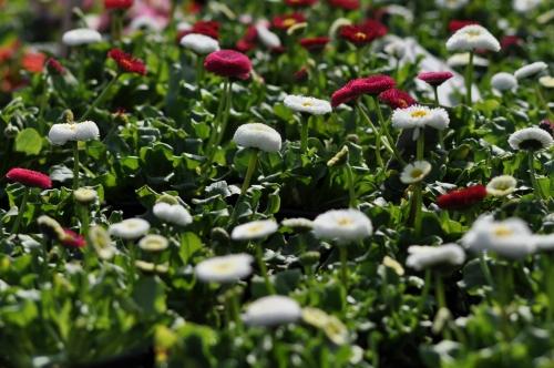 Camp de flori